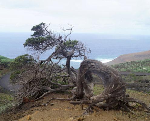 El Sabina - der lebendige Baum