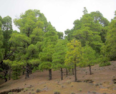 El Hierro Pinienwald