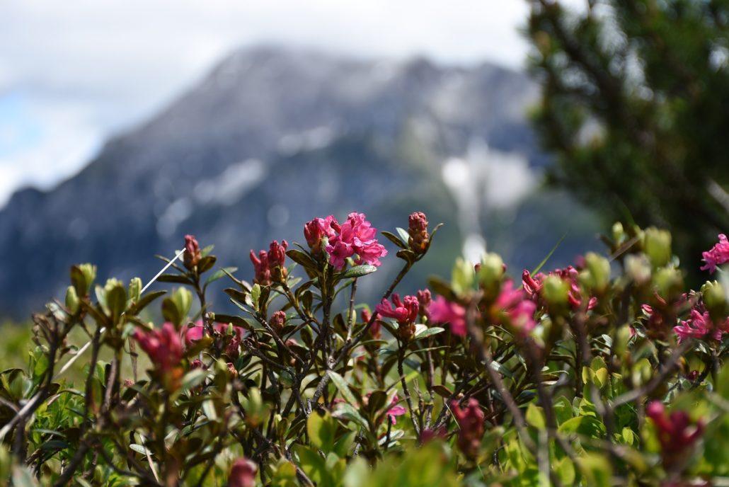Almenrausch mit den Gipfelstürmertagen im wunderschönen Ultental